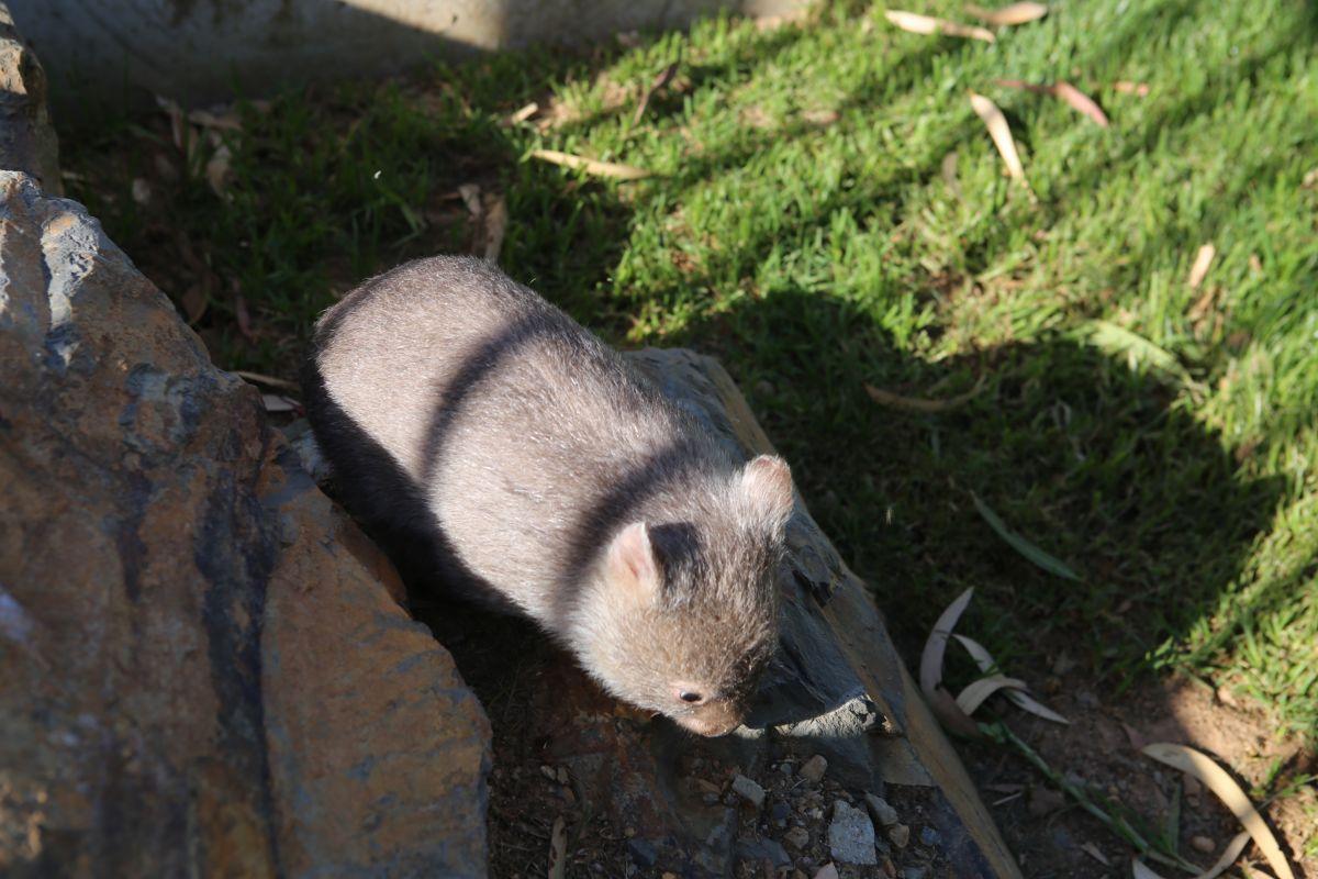 wombat on rocks