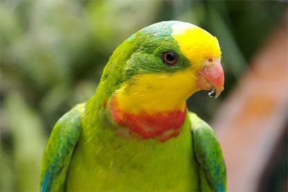 superb-parrot-web